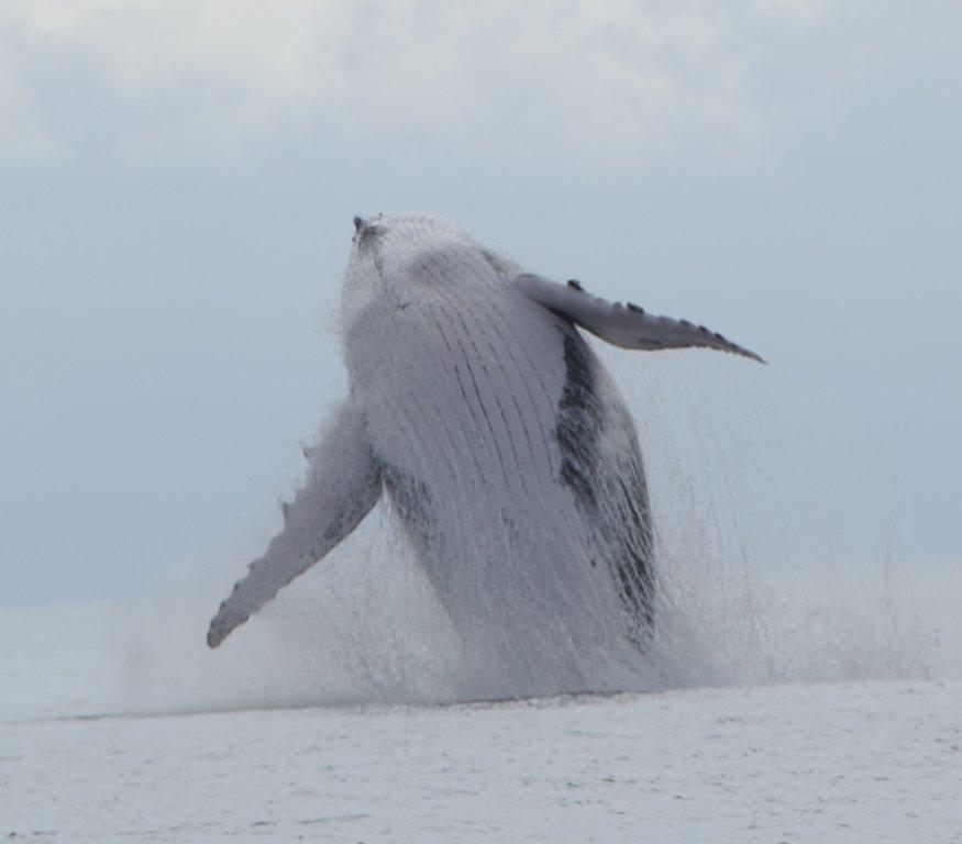 Visitantes de varios países del mundo vienen a Panamá a disfrutar del espectáculo que cada año ofrecen las ballenas en sus aguas   Foto:  Whale Watching Panamá
