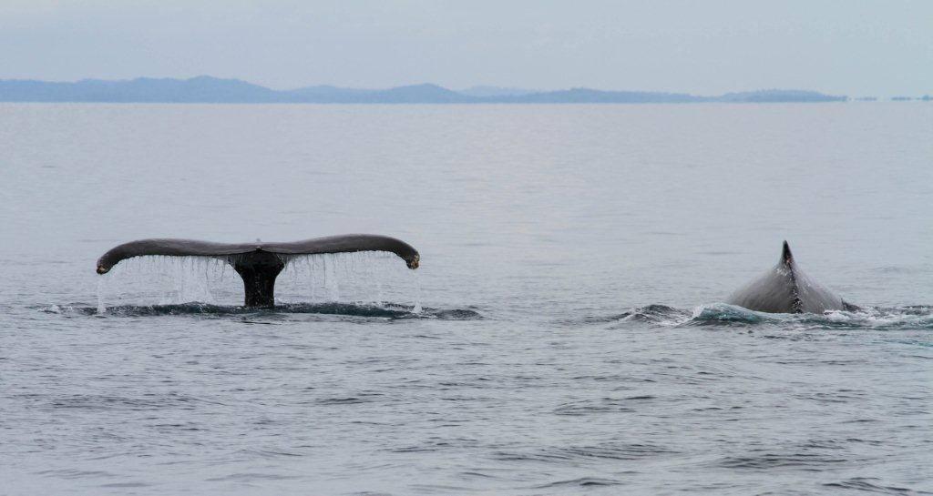Todos los visitantes tienen suerte de ver, aunque sea de lejos, a los enormes mamíferos   Fotos: Whale Watching Panamá