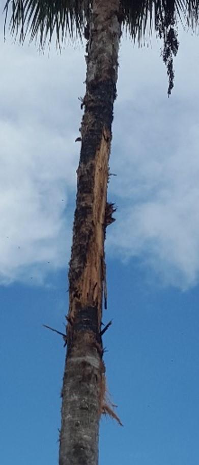 La enorme palma tuvo que ser removida, pues después de ser impactada por el rayo, su tronco resultó quemado y con riesgo de derrumbarse.