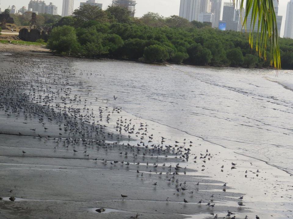 La playa de Costa del Este es uno de los lugares privilegiados para recibir a estos plumíferos | Foto: Audubon Panamá