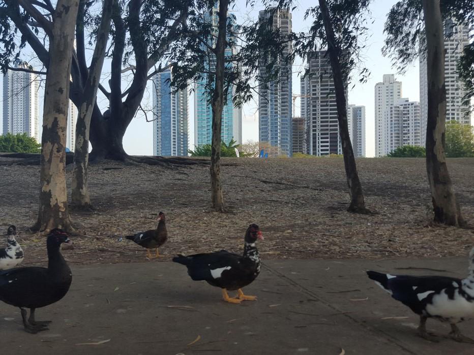 Los patos forman parte del parque, y es una de las distracciones por las que los niños visitan esta reserva forestal | Foto: AR