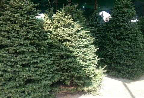 Quemar los árboles de Navidad es altamente contaminante.