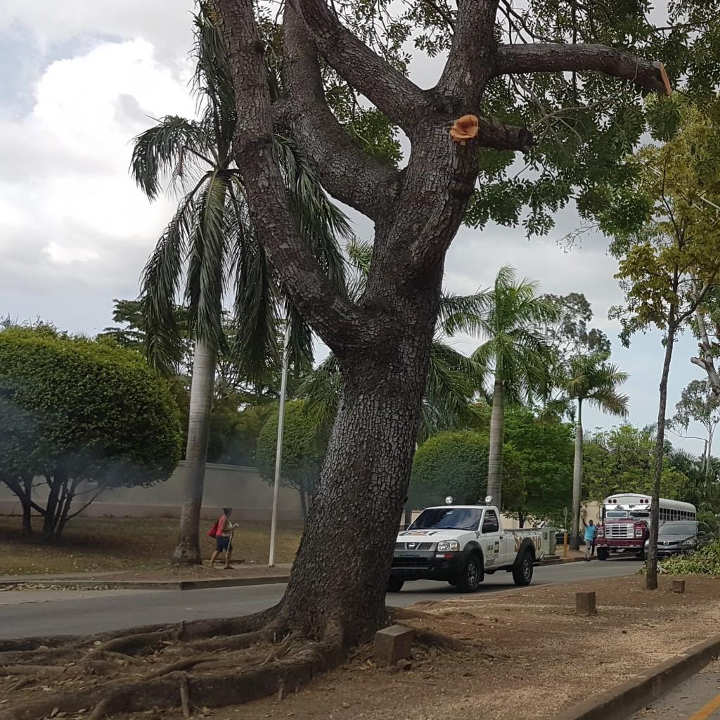 Árboles de gran tamaño como éste, fueron podados para evitar accidentes.